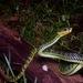 Trimeresurus malcolmi - Photo (c) John Sullivan, μερικά δικαιώματα διατηρούνται (CC BY-NC)