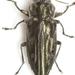 Chrysobothris pseudacutipennis - Photo (c) Mike Quinn, Austin, TX, algunos derechos reservados (CC BY-NC)