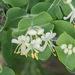 Lonicera albiflora - Photo (c) Brent Franklin,  זכויות יוצרים חלקיות (CC BY-NC)