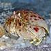 Calappidae - Photo (c) Hectonichus, alguns direitos reservados (CC BY-SA)