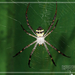 Argiope aetheroides - Photo (c) 小工友, some rights reserved (CC BY-NC-ND)