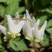 Dicentra cucullaria - Photo (c) Ana Ka'ahanui, algunos derechos reservados (CC BY-NC)