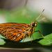 Pyroneura latoia - Photo (c) Vijay Anand Ismavel, osa oikeuksista pidätetään (CC BY-NC-SA), uploaded by Dr. Vijay Anand Ismavel MS MCh