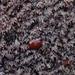Osmundea pinnatifida - Photo (c) Bas Kers (NL),  זכויות יוצרים חלקיות (CC BY-NC-SA)