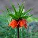 Fritillaria imperialis - Photo (c) Lotus Johnson, algunos derechos reservados (CC BY-NC)