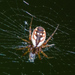 Tuft-legged Orbweaver - Photo (c) Tracey Fandre, some rights reserved (CC BY-NC-ND)