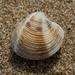 Chamelea - Photo (c) bathyporeia, algunos derechos reservados (CC BY-NC-ND)