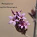 Campylanthus pungens - Photo (c) Ali Mohammed Alzahrani, μερικά δικαιώματα διατηρούνται (CC BY-NC-ND)