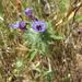 Downy Pincushionplant - Photo (c) randomtruth, some rights reserved (CC BY-NC-SA)