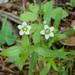 Moehringia macrophylla - Photo (c) edgeplot, algunos derechos reservados (CC BY-NC-SA)