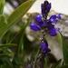 Polygala calcarea - Photo (c) Kittenbutt, alguns direitos reservados (CC BY-NC)