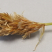 Field Sedge - Photo (c) Fred Melgert / Carla Hoegen, some rights reserved (CC BY-NC)