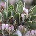 Pointleaf Manzanita - Photo (c) lonnyholmes, some rights reserved (CC BY-NC)