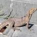 Iguana de Cola Espinosa Sonorense - Photo (c) Jaime R Briseño, algunos derechos reservados (CC BY-NC)