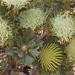 Banksia sessilis - Photo (c) cskk, osa oikeuksista pidätetään (CC BY-NC-ND)