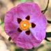 Cistus × purpureus - Photo (c) Randy Robertson,  זכויות יוצרים חלקיות (CC BY)
