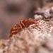 Strumigenys arizonica - Photo (c) sirduckington, algunos derechos reservados (CC BY-NC)
