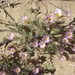Two-colored Phacelia - Photo (c) Jim Morefield, some rights reserved (CC BY)