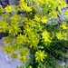 Yellow Saxifrage - Photo (c) Udo Schmidt, some rights reserved (CC BY-SA)