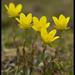 Saxifraga hirculus - Photo (c) Anders Lanzen, algunos derechos reservados (CC BY-NC-SA)