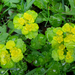 Alternate-leaved Golden Saxifrage - Photo (c) Kari Pihlaviita, some rights reserved (CC BY-NC)