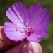 Clarkia gracilis - Photo (c) Ken-ichi Ueda, algunos derechos reservados (CC BY)