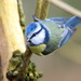 Eurasian Blue Tit - Photo (c) Philippe Rouzet, some rights reserved (CC BY-NC-ND)