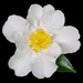 Sasanqua Camellia - Photo (c) James Gaither, some rights reserved (CC BY-NC-ND)