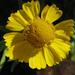 Helenium autumnale - Photo (c) Kingsbrae Garden, algunos derechos reservados (CC BY-NC-SA)