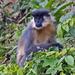 Langur Capuchino - Photo (c) Vijay Anand Ismavel, algunos derechos reservados (CC BY-NC-SA), uploaded by Dr. Vijay Anand Ismavel MS MCh
