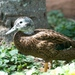 Laysan Duck - Photo (c) Kanalu Chock, some rights reserved (CC BY-SA)