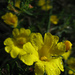 Yellow Buttercups - Photo (c) Ilena, some rights reserved (CC BY-SA)