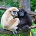 Lar Gibbon - Photo (c) User:MatthiasKabel, some rights reserved (CC BY-SA)