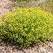 Euphorbia spinosa - Photo (c) bathyporeia, algunos derechos reservados (CC BY-NC-ND)