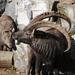 Αλπικός Αίγαγρος - Photo (c) Böhringer Friedrich, μερικά δικαιώματα διατηρούνται (CC BY-SA)
