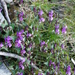 Lamium garganicum - Photo (c) Sam Thomas, algunos derechos reservados (CC BY-NC-SA)