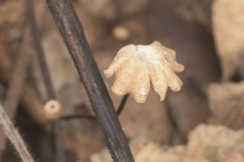 Marasmius capillaris