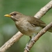 Creamy-bellied Thrush - Photo (c) Egon Fink, some rights reserved (CC BY-SA)