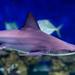 Carcharhinus plumbeus - Photo (c) Chesapeake Bay Program, μερικά δικαιώματα διατηρούνται (CC BY-NC)
