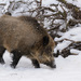 Wild Boar - Photo (c) Claudine Lamothe, some rights reserved (CC BY-NC)