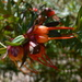 Darwinia citriodora - Photo (c) sea-kangaroo, algunos derechos reservados (CC BY-NC-ND), uploaded by sea-kangaroo
