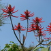 Ivory Coral Tree - Photo (c) Eurico Zimbres, some rights reserved (CC BY-SA)