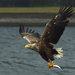 White-tailed Eagle - Photo (c) Jacob  Spinks, some rights reserved (CC BY)
