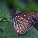 Spotted Palmfly - Photo (c) Vijay Anand Ismavel, some rights reserved (CC BY-NC-SA), uploaded by Dr. Vijay Anand Ismavel MS MCh