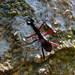 Tricondyla pulchripes - Photo (c) Sek Keung Lo, algunos derechos reservados (CC BY-NC)