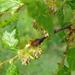 Nothofagus obliqua - Photo (c) Dick Culbert, μερικά δικαιώματα διατηρούνται (CC BY)