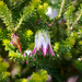 Darwinia - Photo (c) Brent Miller, some rights reserved (CC BY-NC-ND)