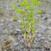 Euphorbia stricta - Photo (c) Sam Thomas, algunos derechos reservados (CC BY-NC-SA)