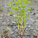 Upright Spurge - Photo (c) Sam Thomas, some rights reserved (CC BY-NC-SA)