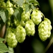 Common Hops - Photo (c) Ferran Turmo Gort, some rights reserved (CC BY-NC-SA)